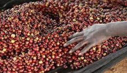 Cameroon Aims to Drink, Produce More Coffee