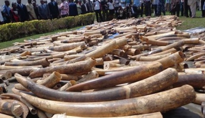 Cameroon arrest group of traffickers with 41 elephant tusks