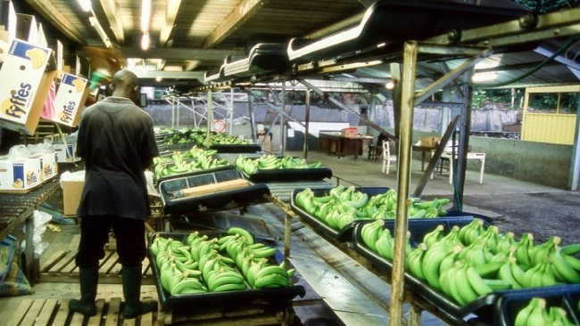 Cameroon is largest producer of banana in Africa