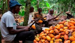 Cameroon Cocoa Prices Surge as Farmers Flee Anglophone Unrest