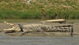 Indonesian woman mauled to death by crocodile