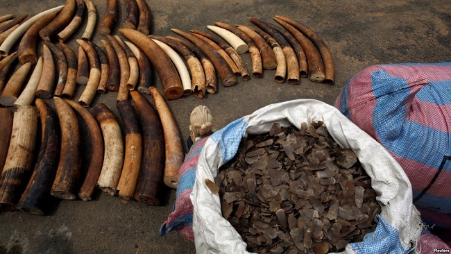 CPDM crime syndicate investigates illegal ivory, Pangolin scales bound for China