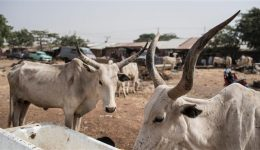 Cameroon's beef price jumps 3.5% driven by exports to Nigeria