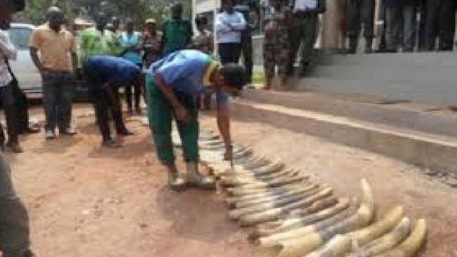 Bertoua: 160 elephant tusk seized by Cameroon police