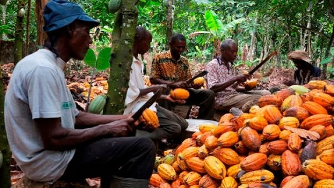 Ambazonian farmers abandon cocoa plantations amid crackdown