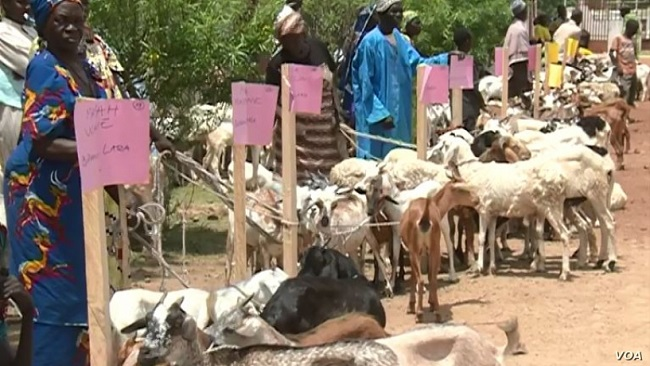 Biya Regime Fighting Boko Haram Recruitment with Goats, Sheep
