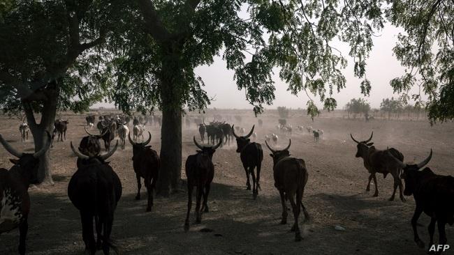Battle For Ambazonia: Mbororos Abandoning Cattle Ranches