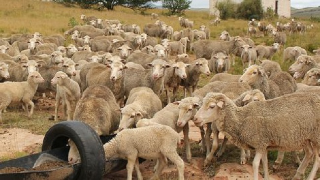 Ambazonia Crisis Pushes Muslims To Go for Substitutes As Sacrificial Sheep are Scarce