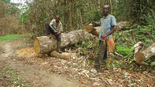 In Cameroon, illegal logging of high-value timber harms indigenous forest communities